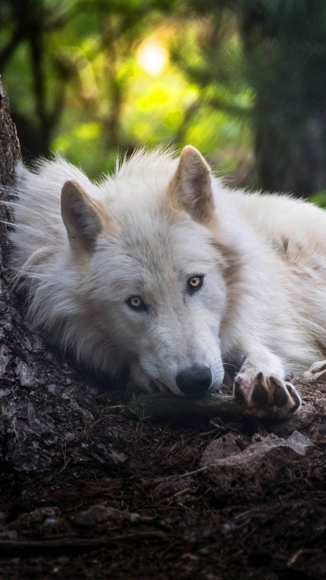 Top 95 Wolf Wallpapers ! Download Free